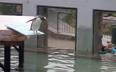 Ozzy Man kommentiert den scheuesten Pinguin der Welt