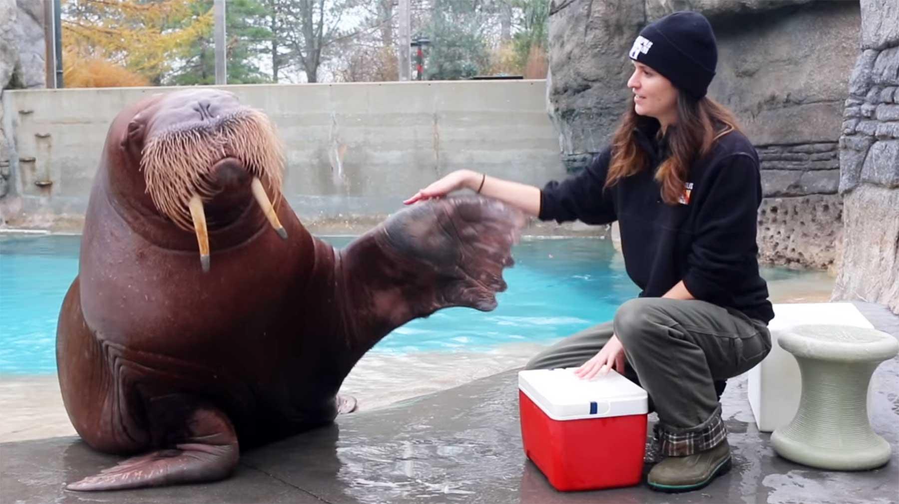 Walrosse können Pfeifen und viele andere Töne von sich geben