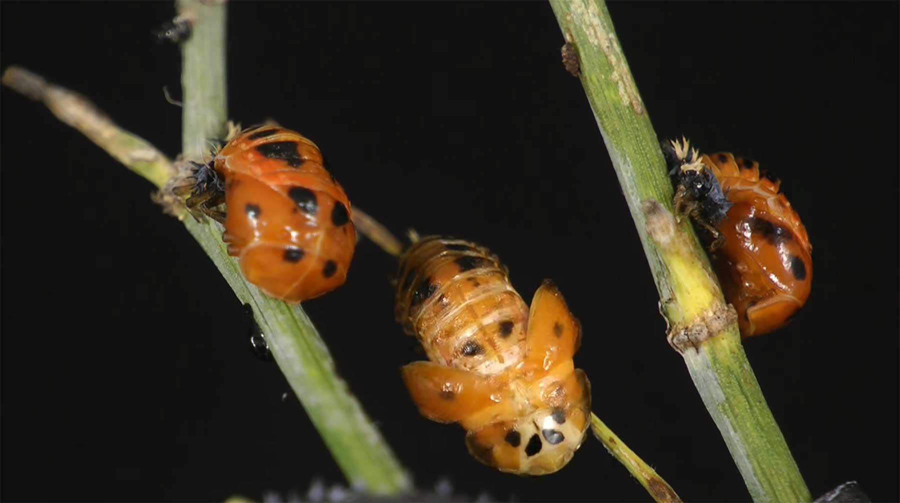 Geburt und Leben eines Marienkäfer im Zeitraffer