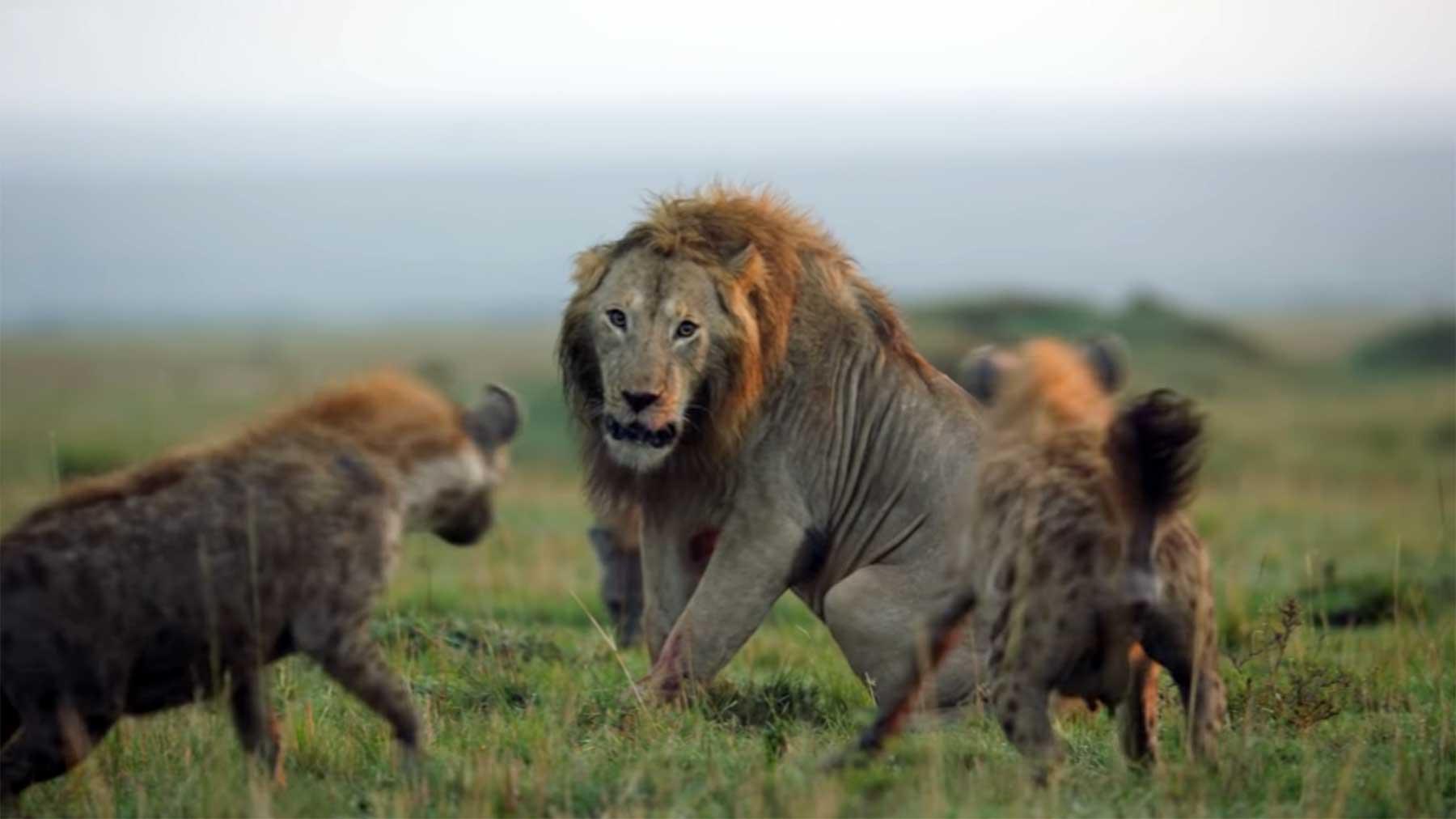 Ein Löwe gegen 20 Hyänen