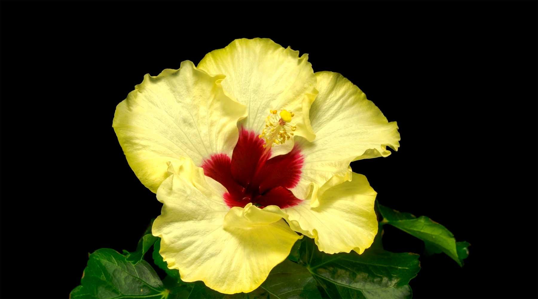 Im Zeitraffer erblühende Blumen