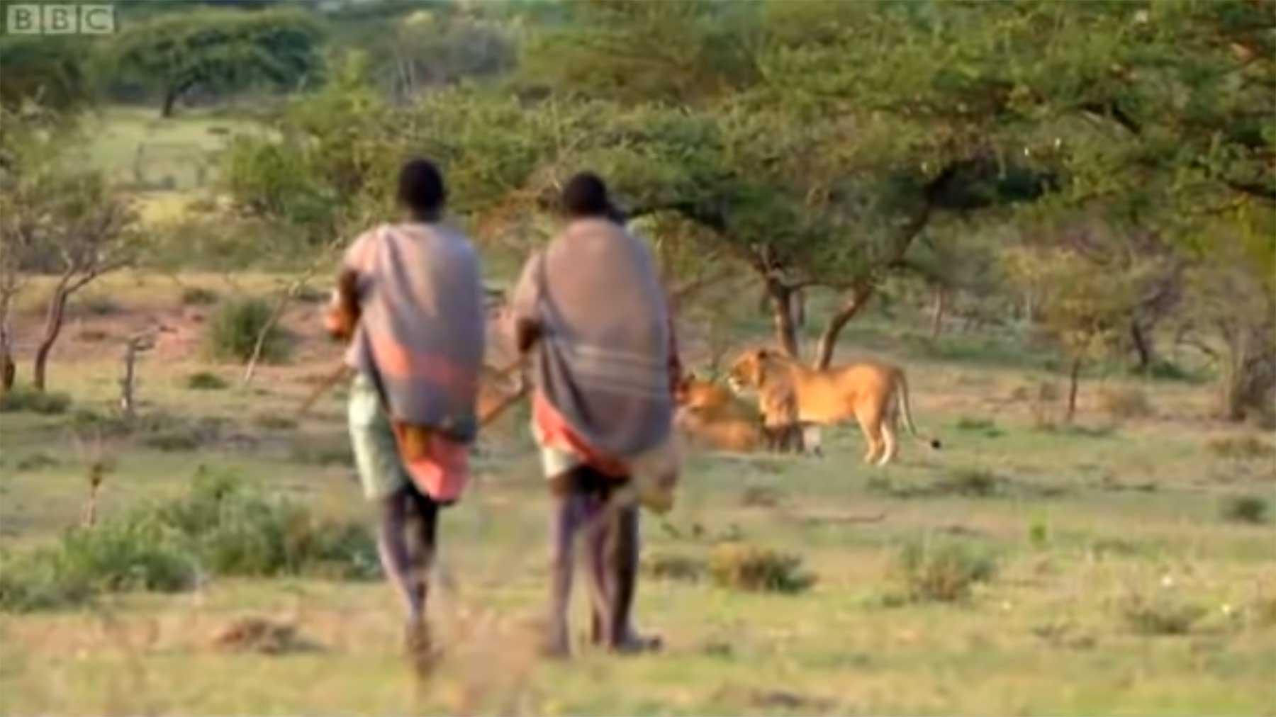 Wie drei Männer Löwen ihrer Beute berauben