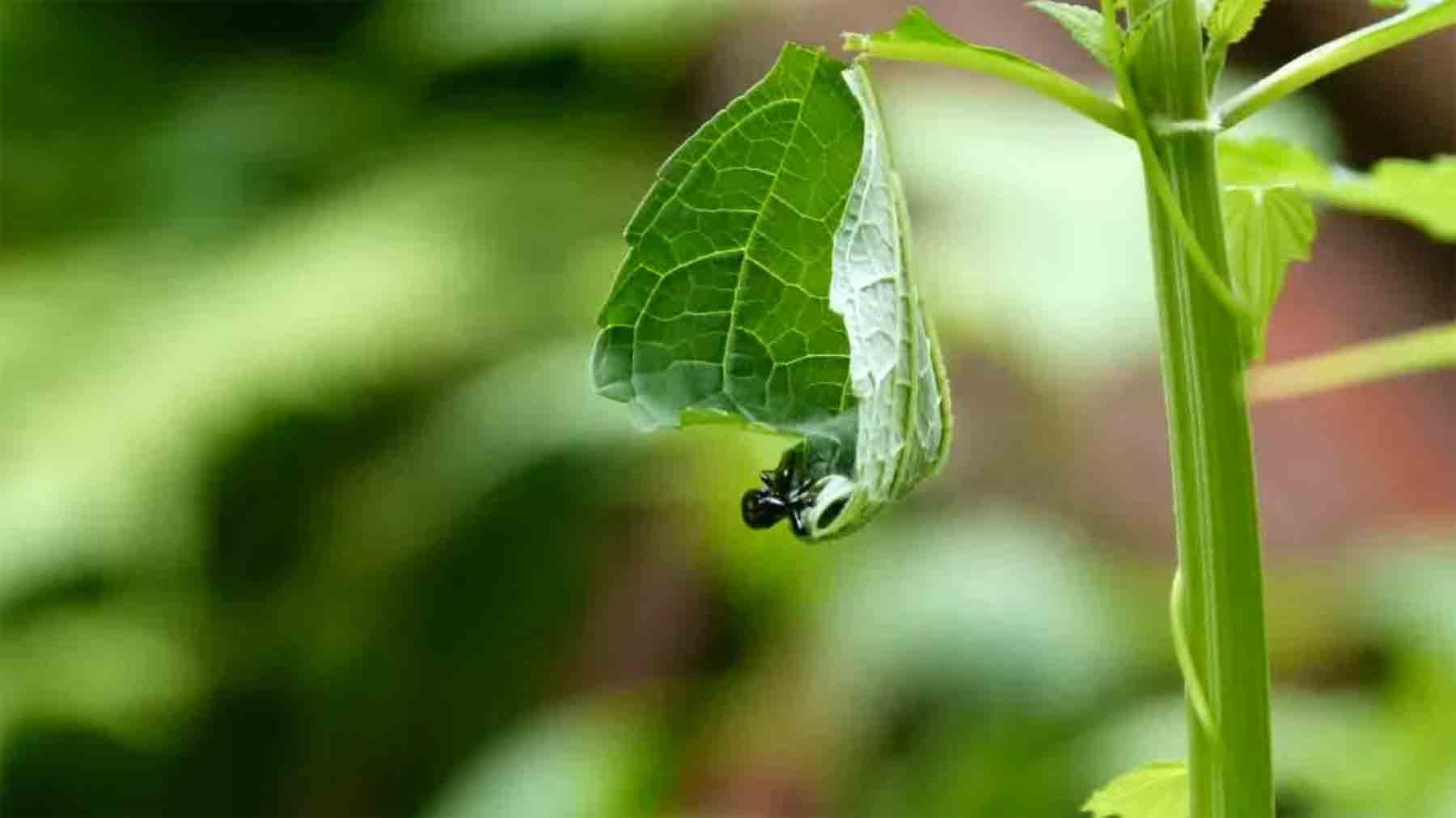 Timelapse: Wie der Blattroller-Käfer sich einen Kokon baut