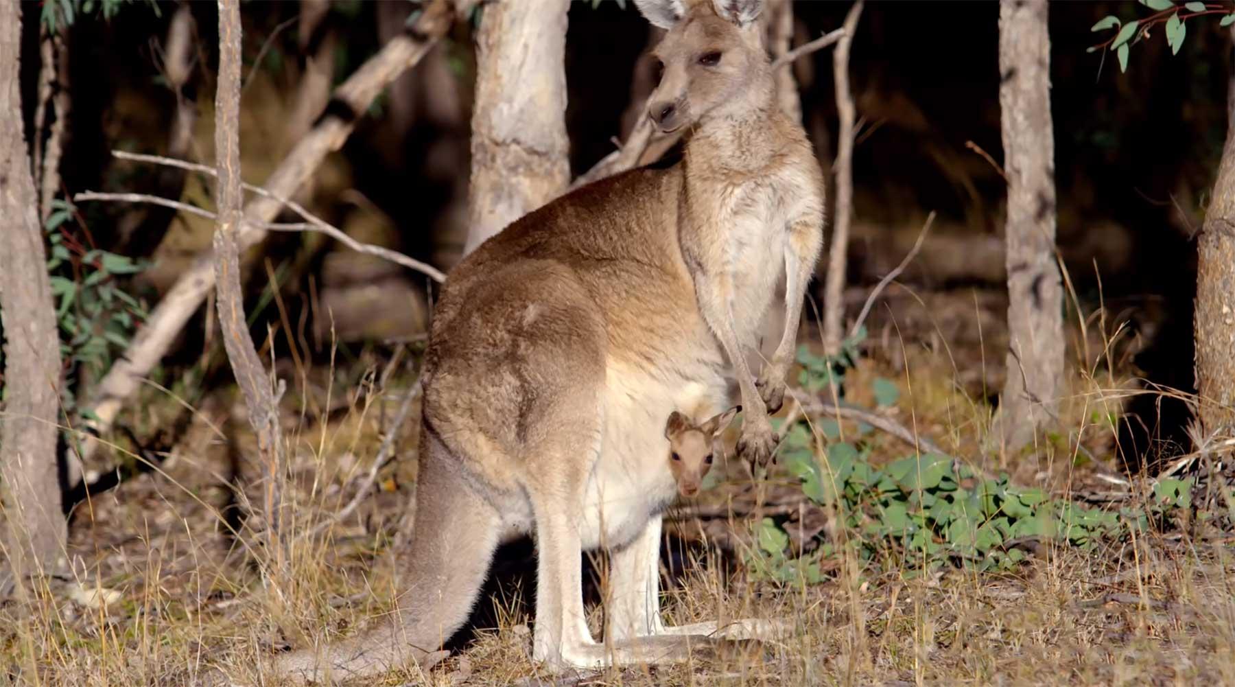 Ein Blick in die Beuteltaschen von Kängurus