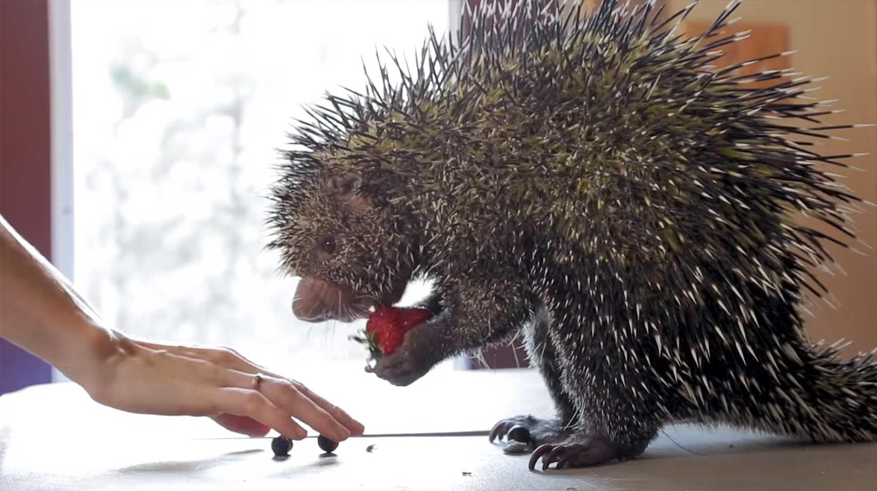 Nur ein Stachelschwein, das Obst isst