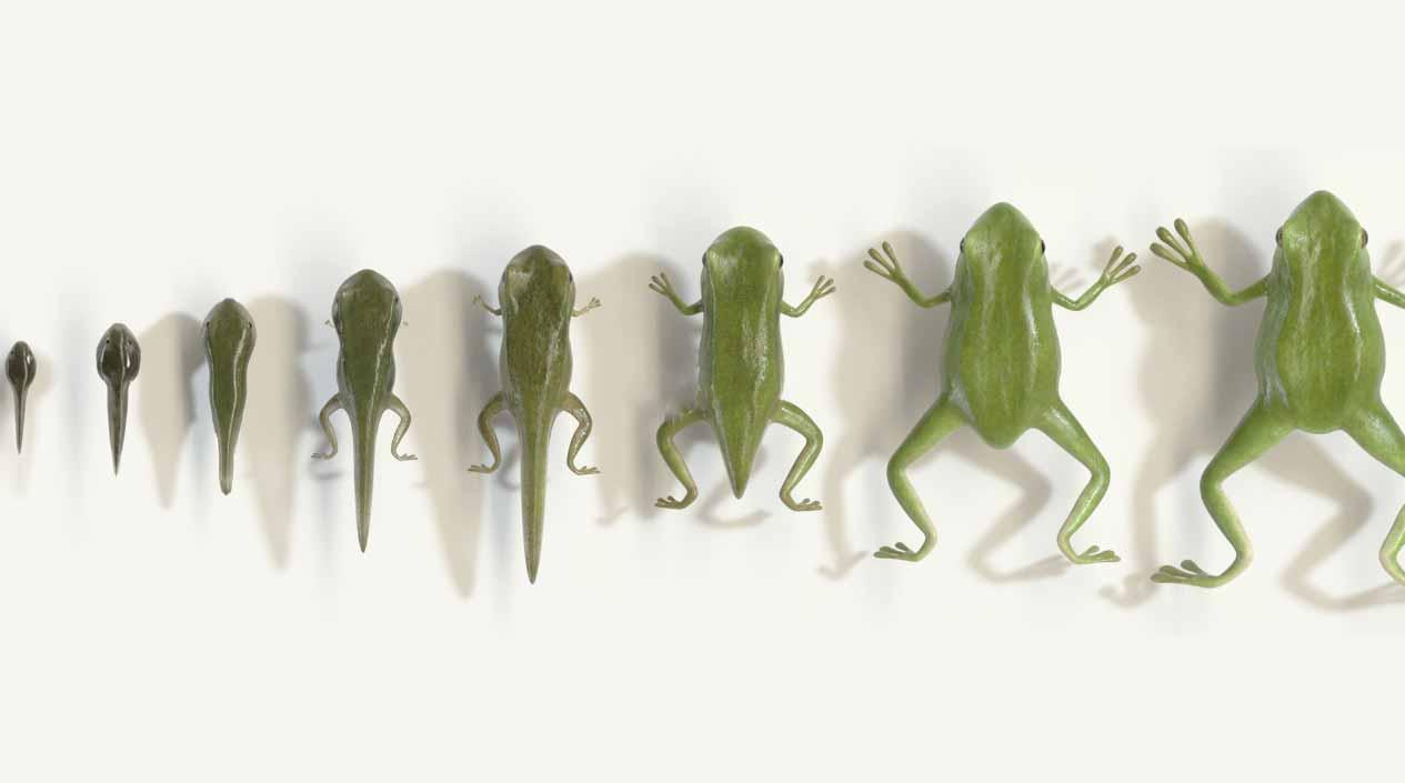 Von Kaulquappe zu Frosch in 18 Sekunden
