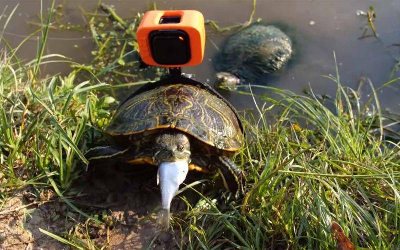 Eine GoPro an eine Schildkröte binden und an ihrem Leben teilhaben