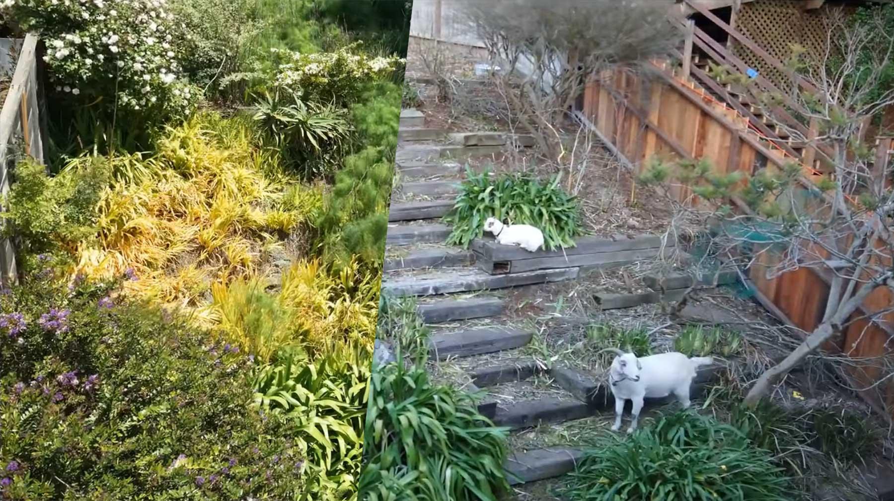Timelapse-Video zeigt, wie Ziegen in 6 Tagen einen Garten wegfuttern