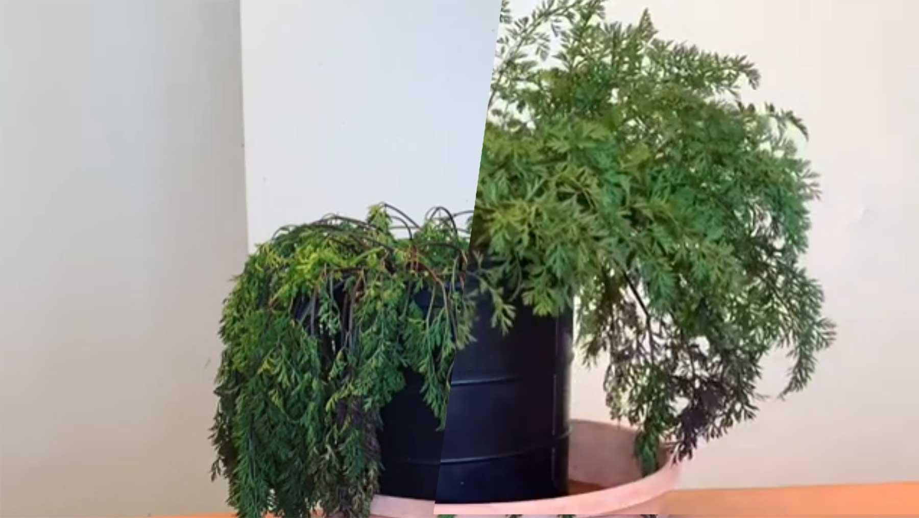 Zeitraffer einer sich erholenden Zimmerpflanze