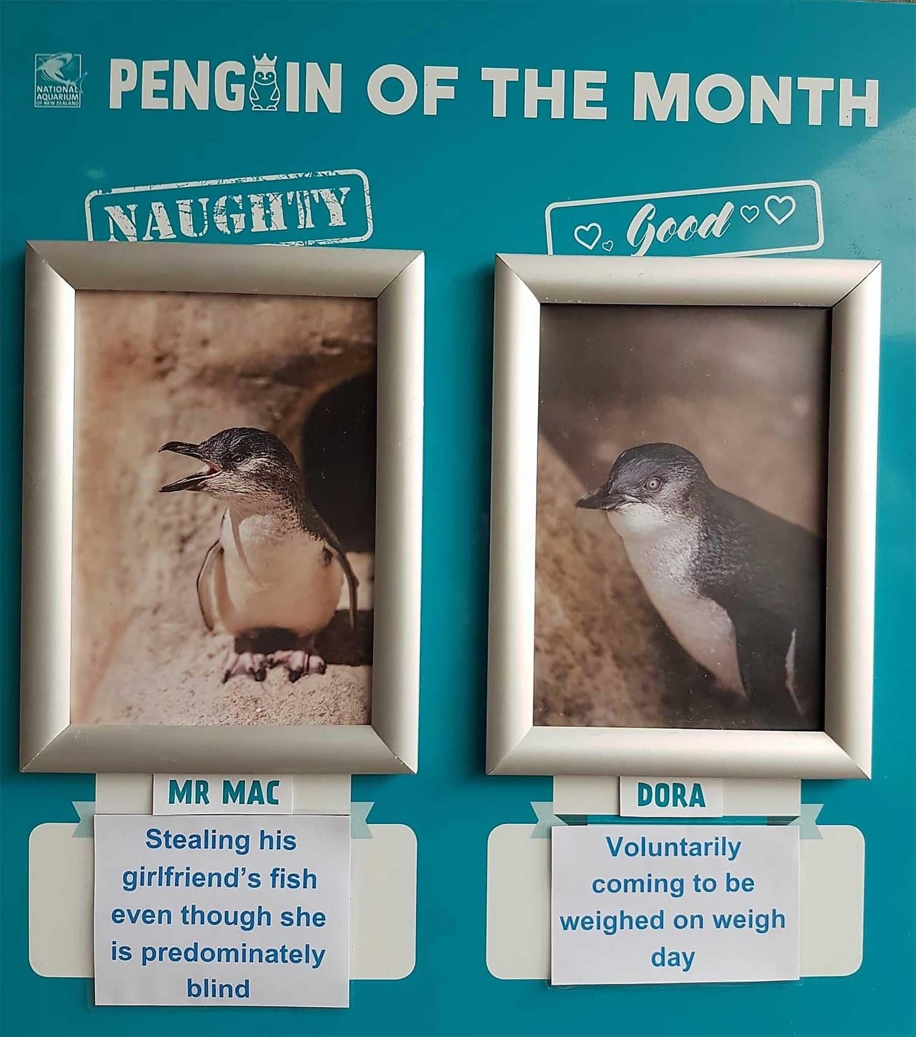 """Aquarium in Neuseeland kürt """"Pinguine des Monats"""" pinguine-des-monats-aquarium-neuseeland_01"""