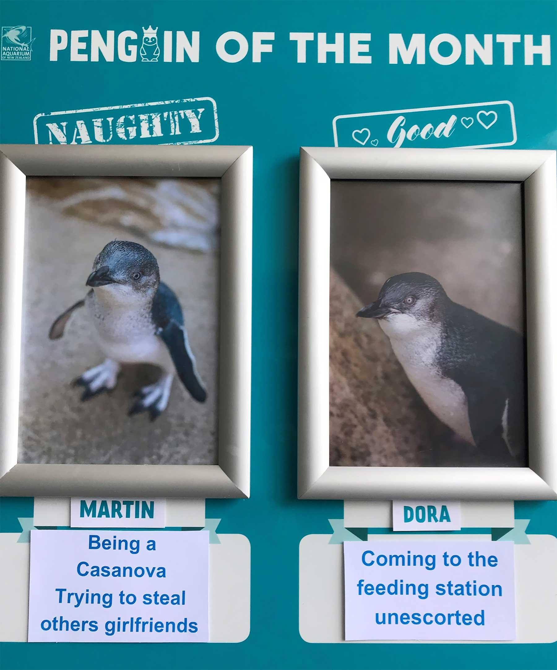 """Aquarium in Neuseeland kürt """"Pinguine des Monats"""" pinguine-des-monats-aquarium-neuseeland_05"""