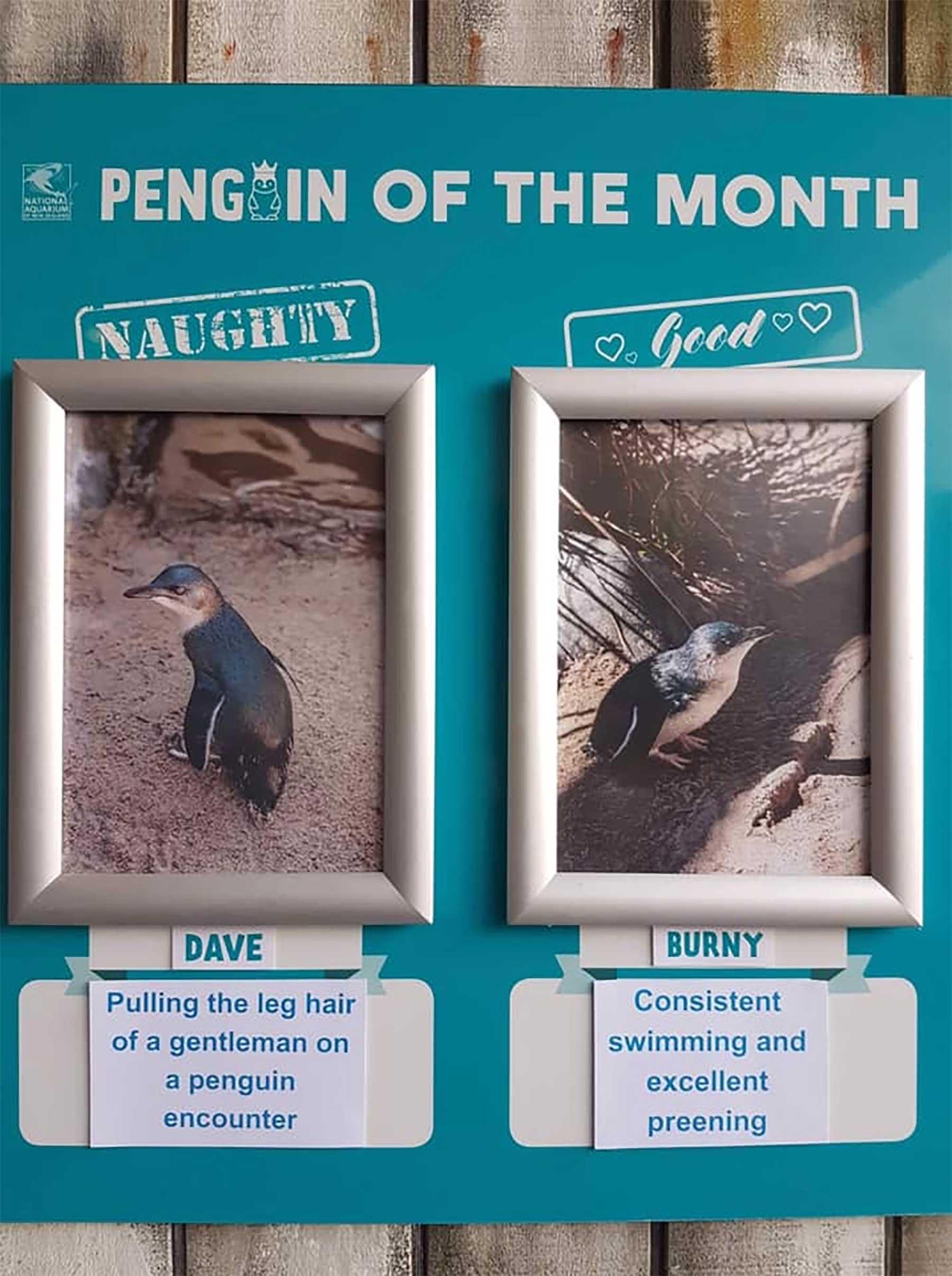 """Aquarium in Neuseeland kürt """"Pinguine des Monats"""" pinguine-des-monats-aquarium-neuseeland_06"""