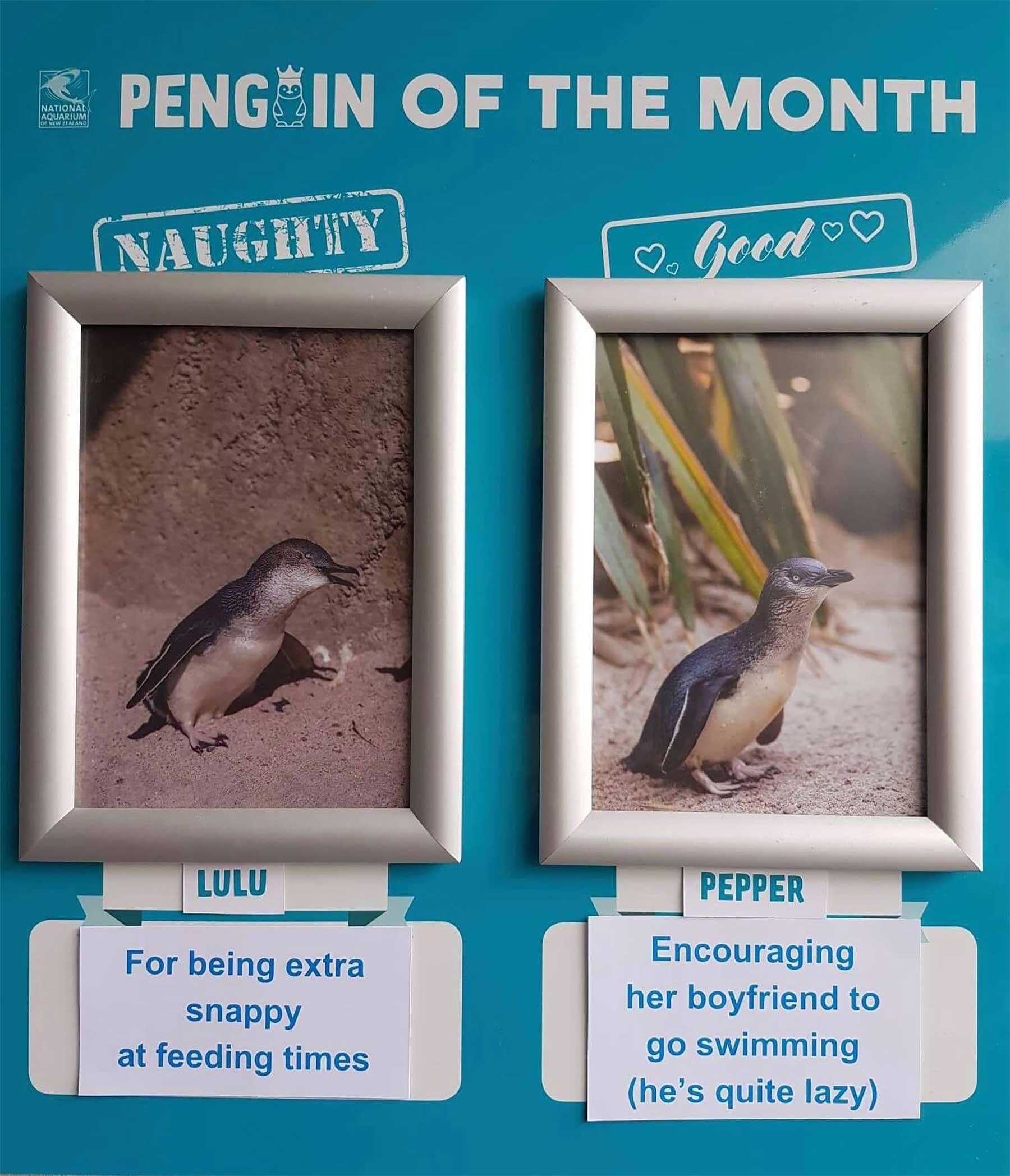 """Aquarium in Neuseeland kürt """"Pinguine des Monats"""" pinguine-des-monats-aquarium-neuseeland_07"""