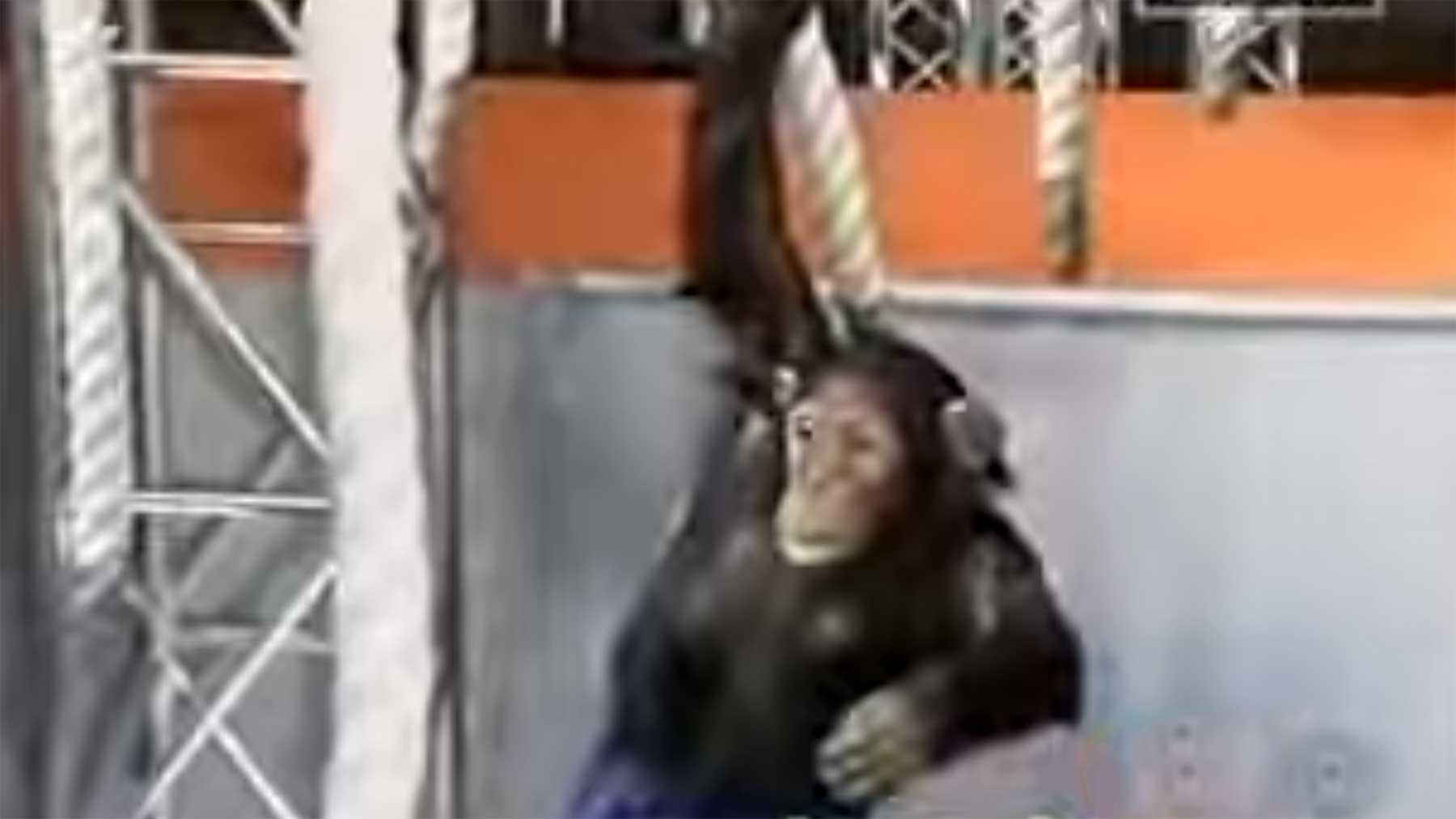 Schimpanse durchläuft Ninja Warrior-Parcours spielerisch