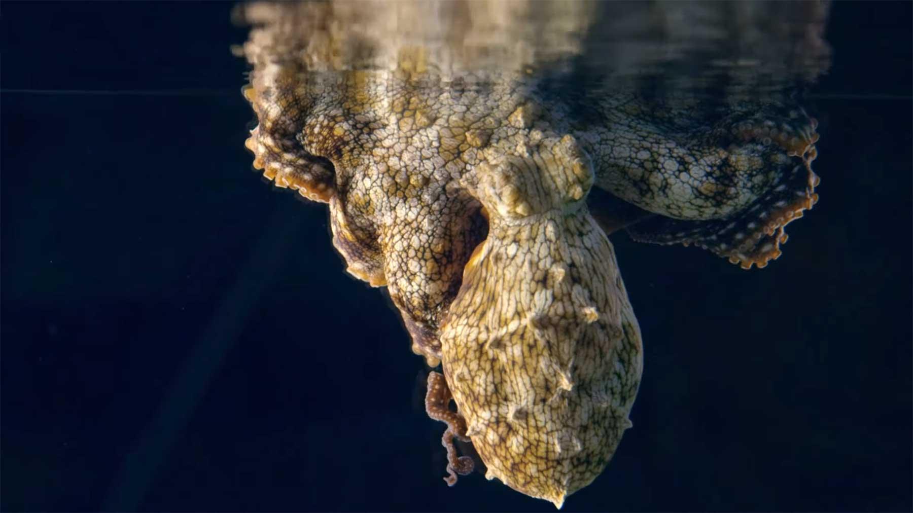 Oktopus ändert seine Farbe während er träumt