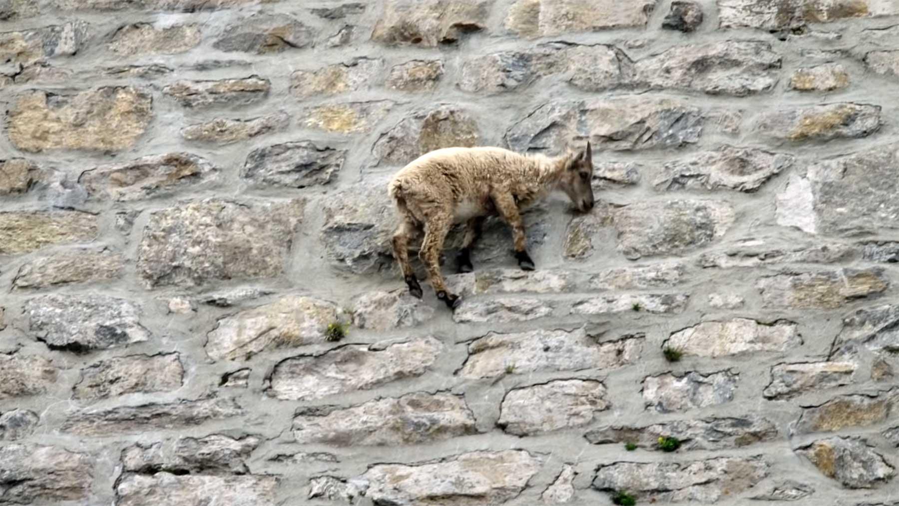 Ziegen klettern steile Damm-Wand hoch ziegen-klettern-steilwand-hoch