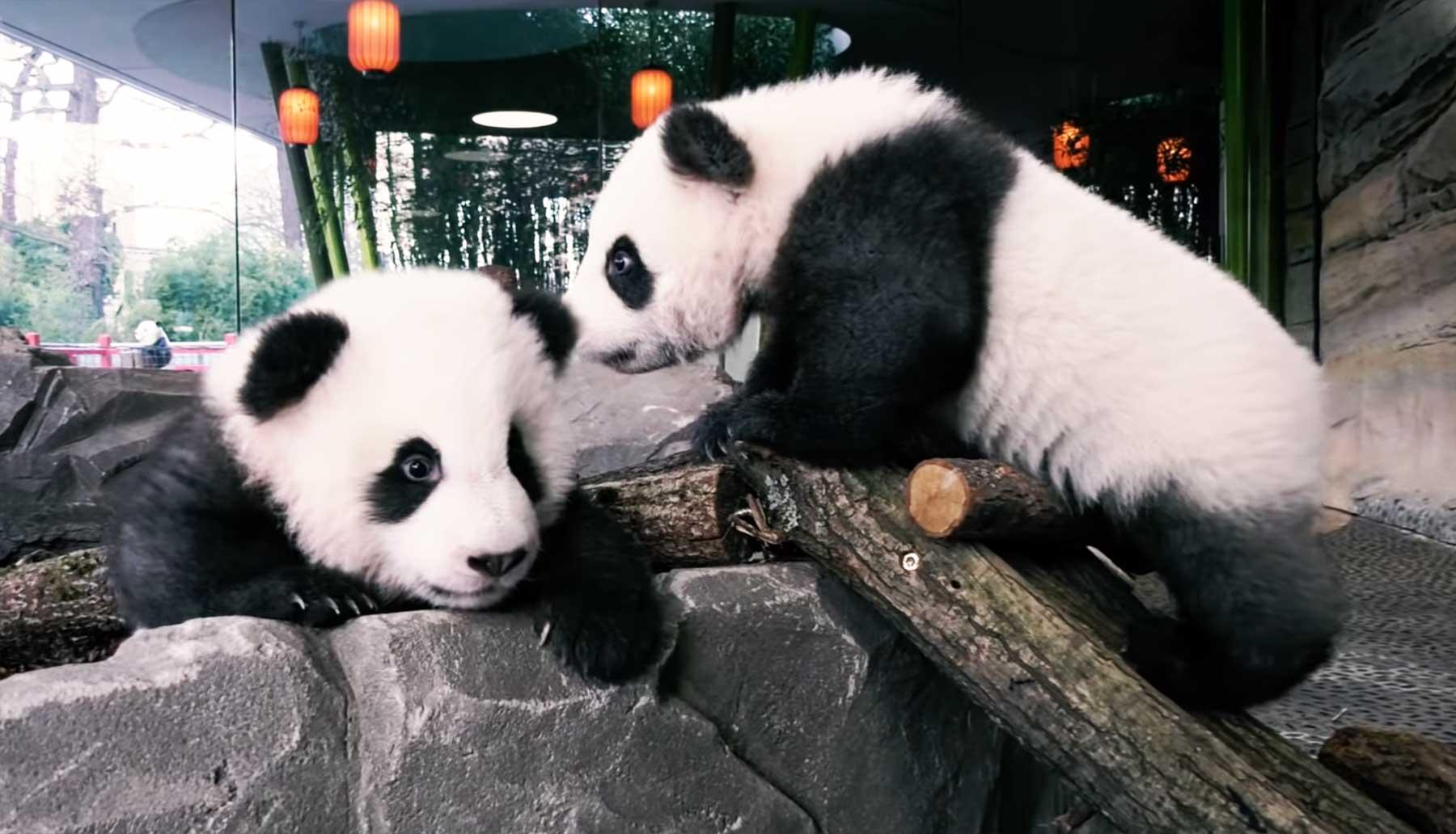 Panda-Babys erkunden erstmals das Außengehege des Berliner Zoos