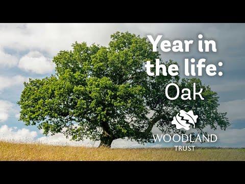 Baum-Timelapse: Das Jahr einer Eiche in 15 Sekunden