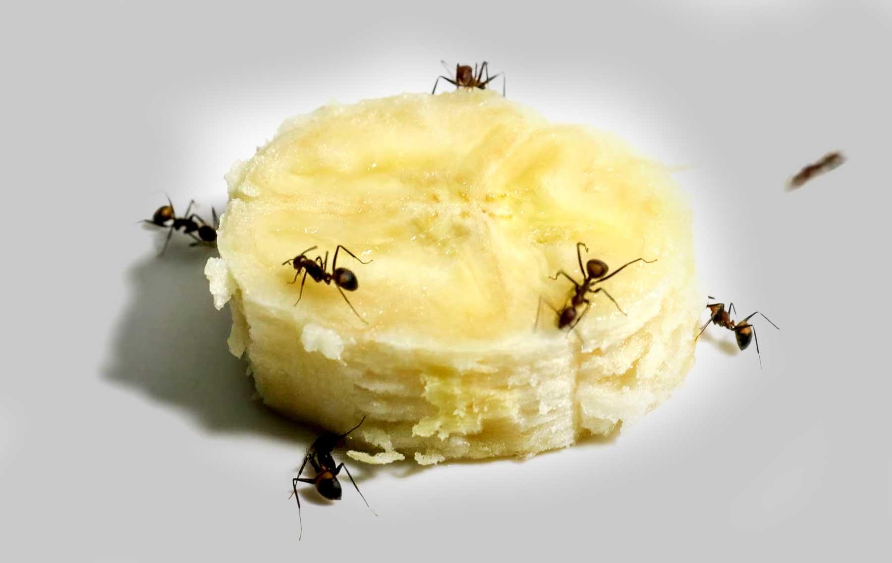 Timelapse: Ameisen essen eine Bananenscheibe