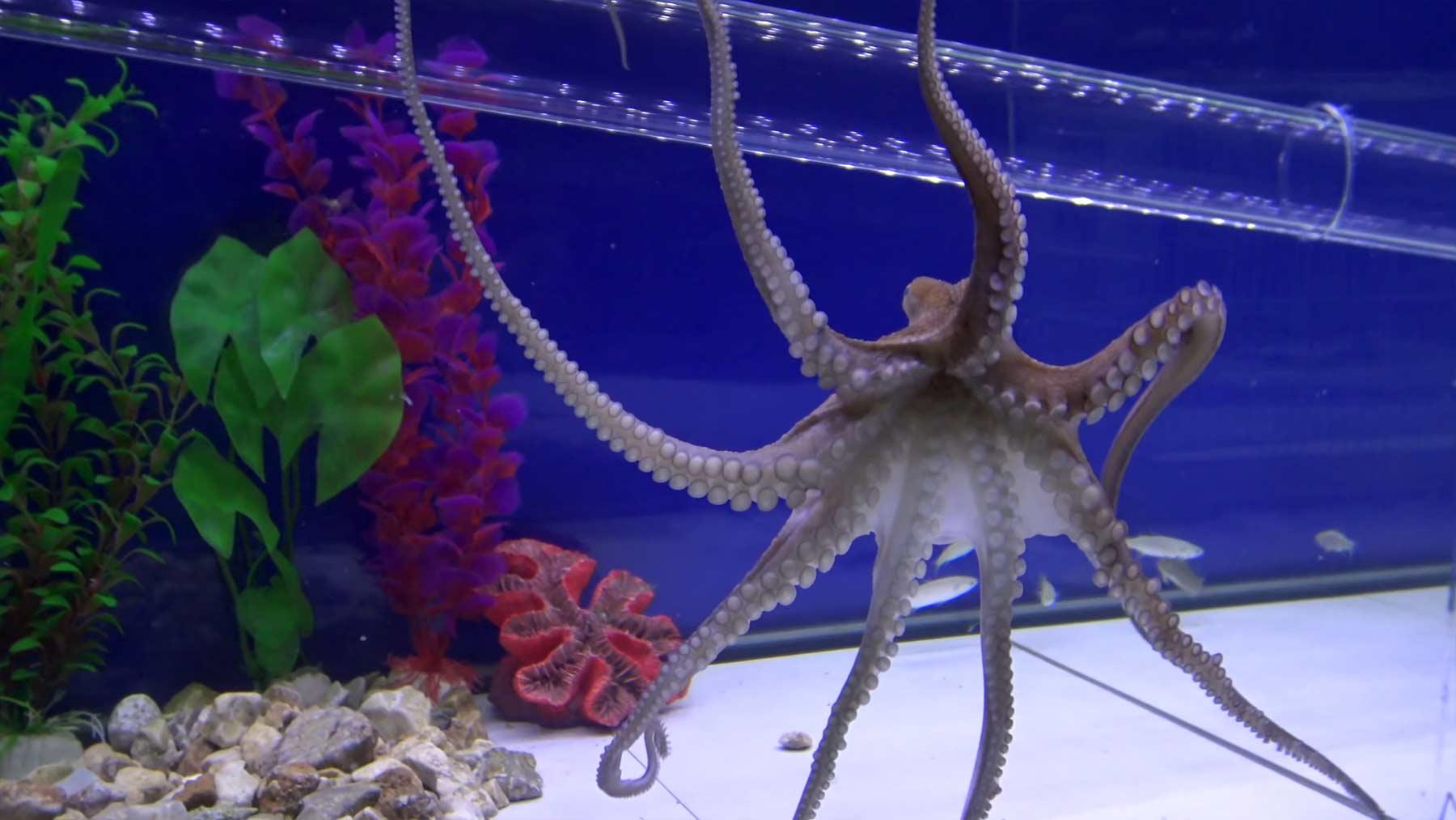 Escape Room Challenge für einen Oktopus