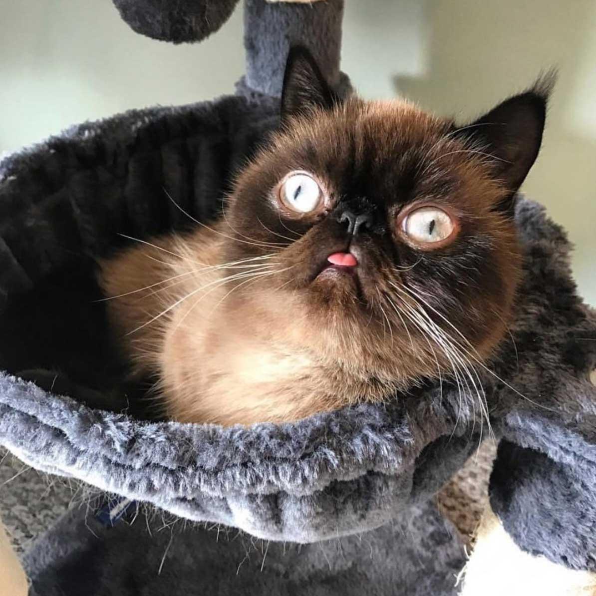 Katze Lässt Zunge Raushängen