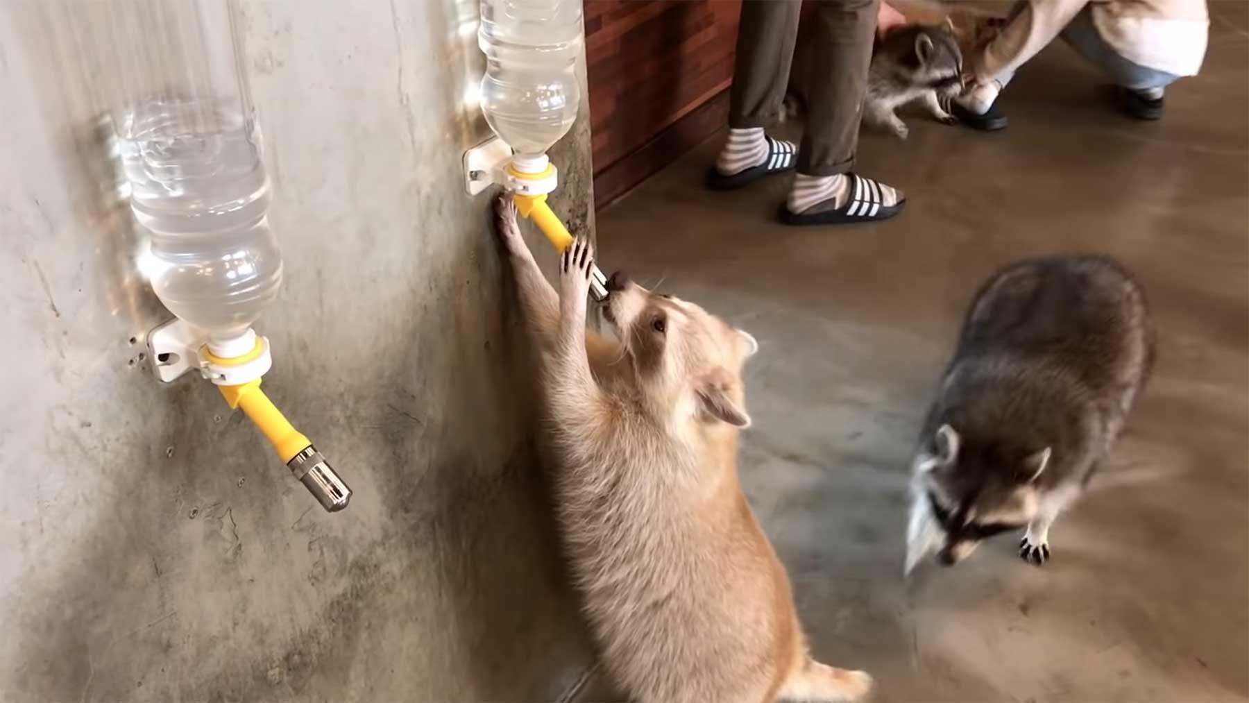 Ein Café voller Waschbären