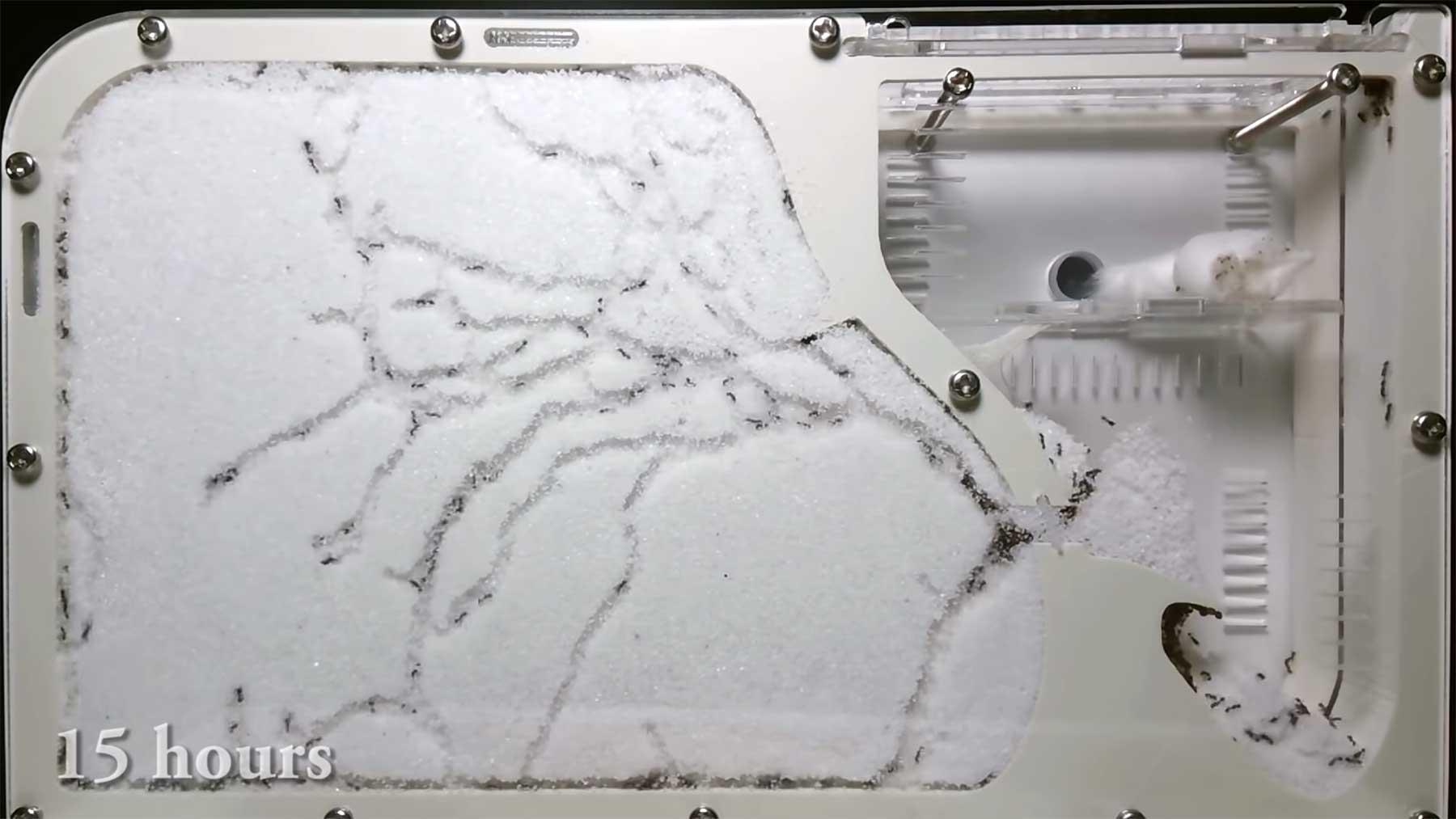 Timelapse: Ameisen bauen sich ein Netzwerk im Sand