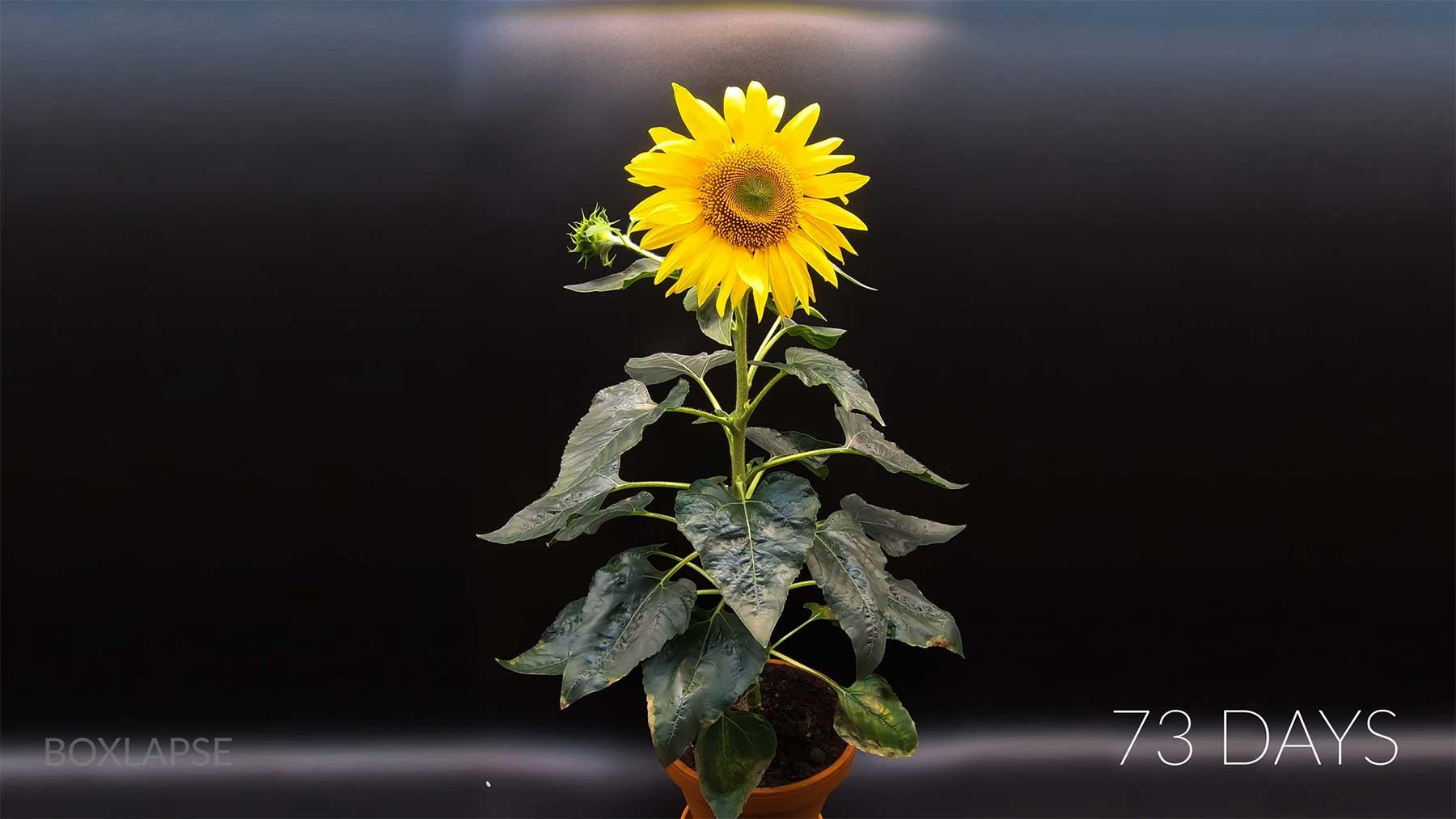 Aufwachsen einer Sonnenblume im Timelapse-Video