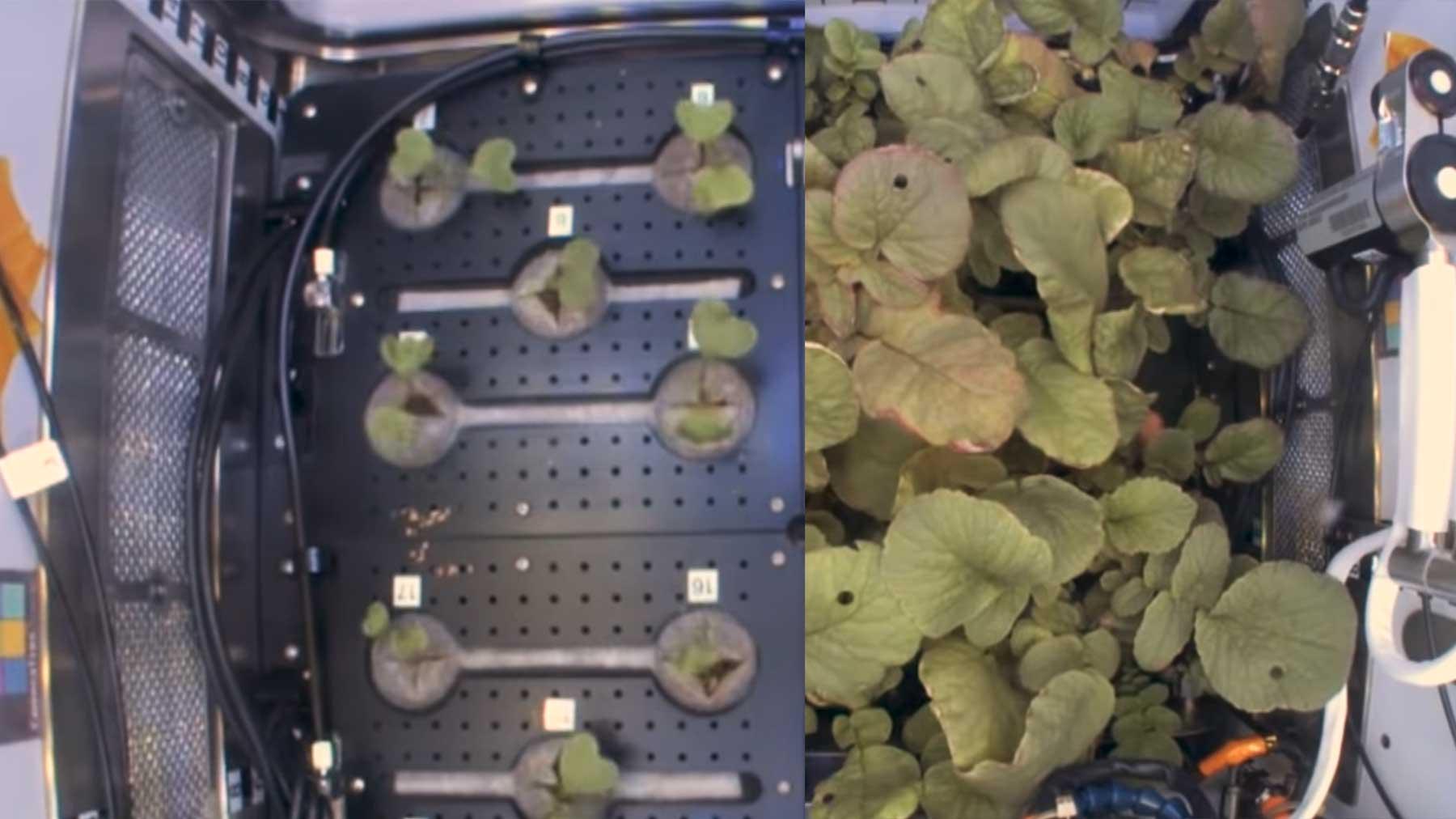 Radieschen-Anbau im All: 27 Tage in 10 Sekunden