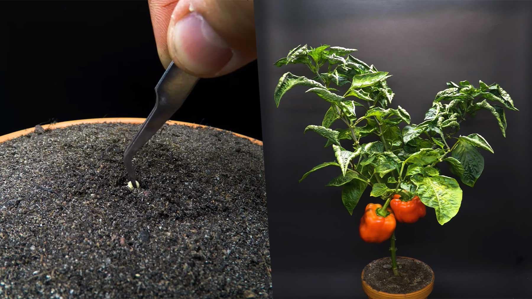 Das Wachsen einer Paprika-Pflanze im Zeitraffer-Video