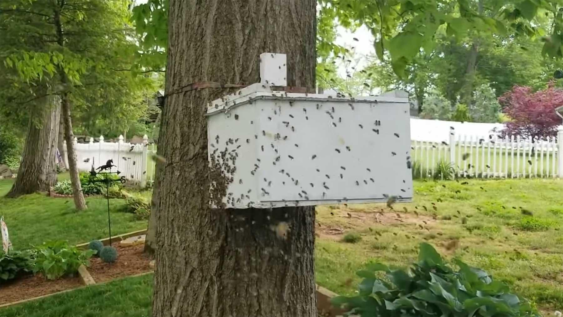 Wie ein Bienenschwarm nach und nach in eine Falle umzieht