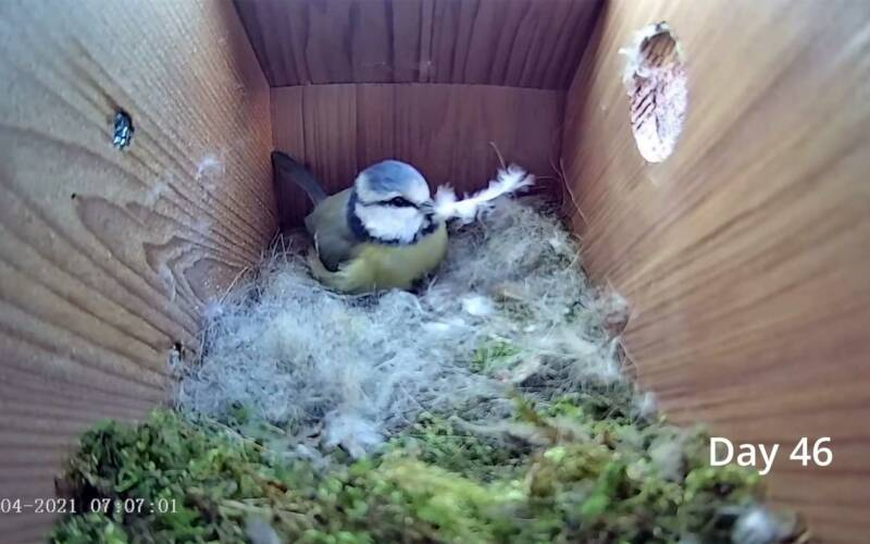 Nestbau und Eierlegen einer Blaumeise im Zeitraffervideo