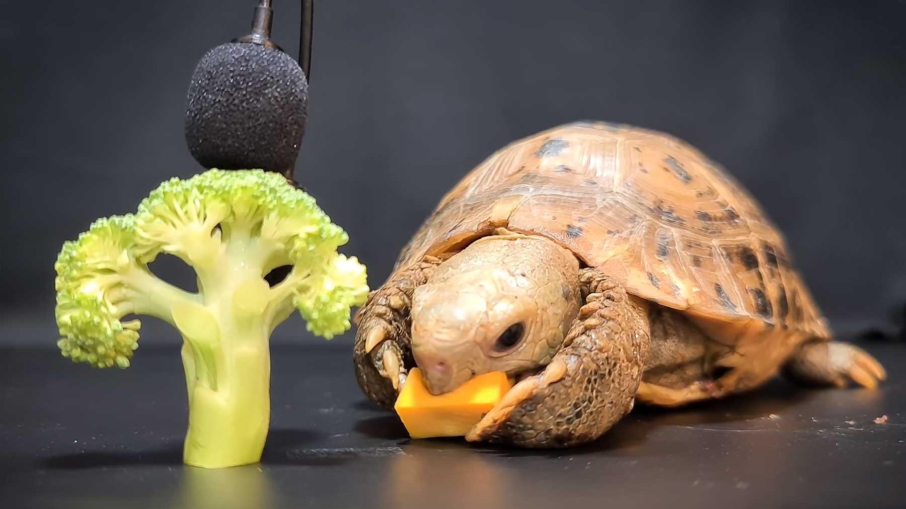 ASMR: Einer Schildkröte beim Futtern zuhören asmr-schildkroete-isst-obst