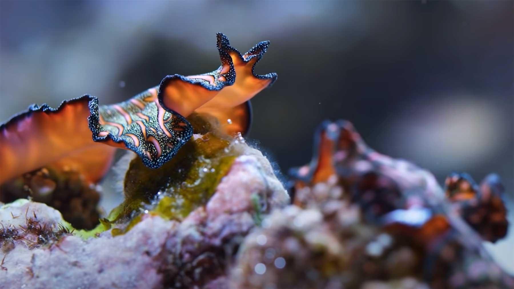 Diese Plattwürmer fechten mit ihren Penissen